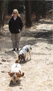 Two Basset Hounds on walk